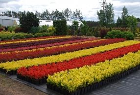 Bārbeles – dārzu krāsainībai un krāšņumam