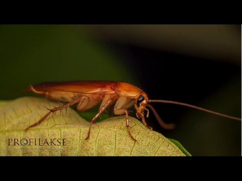 Blaktis skudras žurkas un peles
