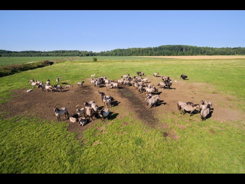 Dunduru pļavas zirgi