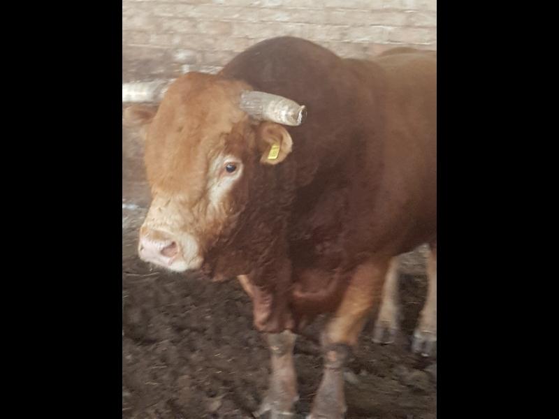 Liellopu iepirkšana, eksportēšana, transportēšana un kvalitatīvas gaļas, subproduktu vairumtirdzniecība