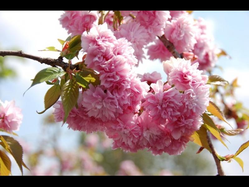 Prunus serrulata kiku shidare sakura