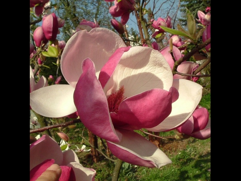 Sīpoli magnolia rustica rubra
