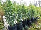 Latgalē policija nedēļas laikā likvidē divas marihuānas audzētavas