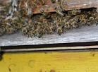 Burtniekos no mājas pagalma nozagts strops ar bišu saimi