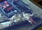 Vidzemes TV: Raunas pagastā problēmas aitu audzētājiem sagādā klaiņojoši suņi