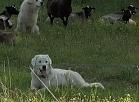 Vidzemes TV: Amatas novadā aitas sargā suņi