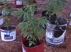 Alūksnes novadā atklāti divi marihuānas audzēšanas gadījumi