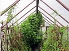 Ludzas iecirkņa darbinieki atklāja divas marihuānas audzētavas
