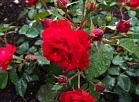 Par godu Latvijas simtgadei Valmiermuižas pils parkā stādīs 100 sārtas un baltas rozes