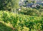Vīnogulāji Sabiles Vīna kalnā.