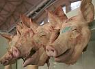 Cūkas galvas Rīgas Centrāltirgus gaļas paviljonā.