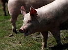 Pigs are seen on a pig farm in Rabacsecseny, Hungary, May 31, 2018. Picture taken May 31, 2018. REUTERS