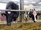 """Zemnieku saimniecības un ģimenes uzņēmuma """"J.Gierkena"""" jaunā ferma Krimuldas novada Lēdurgas pagastā, kas uzcelta ar Eiropas savienības fondu un bankas """"Citadele"""" atbalstu, palielinot ganāmpulku no 500 līdz 1000 govīm"""