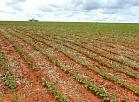 (FILES) File photo taken on November 12, 2013, of soybean crops in Ipameri, State of Goias, Brazil.