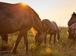"""Savvaļas zirgu un tauru ganības Dabas parkā """"Pape"""""""