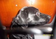 Meklē saimniekus Siguldas novadā pieklīdušiem suņiem