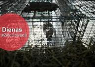 """Kažokzvēru audzētavai """"Grobiņa"""" sods, Tīrākā pludmale - Abragciemā, gāze no Lietuvas"""