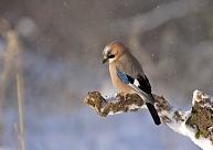 Ornitoloģijas biedrība aicinās trīs dienas ziņot par putniem dārzos