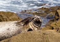 Eksperti izstrādās aizsardzības plānu roņiem