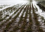 LLKC: Lielā mitruma dēļ daudzviet dīgt sākušie ziemāji ir nosmakuši un sapuvuši