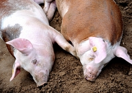Saldus novadā reģistrēts šogad otrais Āfrikas cūku mēra uzliesmojums mājas cūkām Latvijā