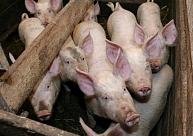 PVD: ĀCM skartajā saimniecībā Durbes novada