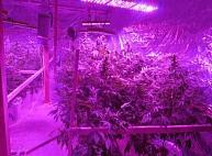 Iecavā atklāta profesionāli izveidota marihuānas audzētava