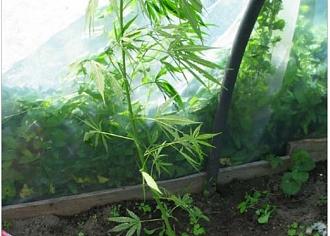 Ludzas novadā atklāja marihuānas audzētavu