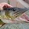 Aicina informēt par Burtniekā atrastām vai noķertām zivīm ar iespējamām slimības pazīmēm
