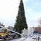 Jelgavā sāk dekorēt lielo pilsētas egli, kuru svinīgi iedegs pirmajā Adventē