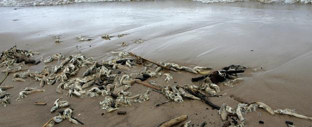 Parafīnu saturošā viela nav iemesls zivju bojāejai Ventspilī, Staldzenes pludmalē