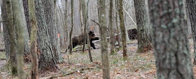 Āfrikas cūku mēris pagājušajā nedēļā atklāts 18 mežacūkām Latvijā