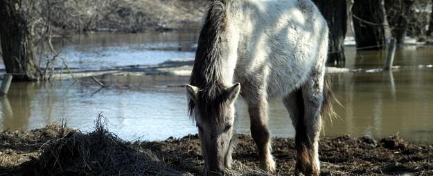 Nozagti Jelgavas savvaļas zirgiem paredzēti siena ruļļi 2000 eiro vērtībā