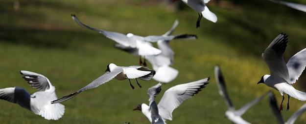 Ornitologs: Dobeles un Tukuma novados plānoto vēja parku pašreizējais projekts vērtējams kā putnu aizsardzībai optimālākais