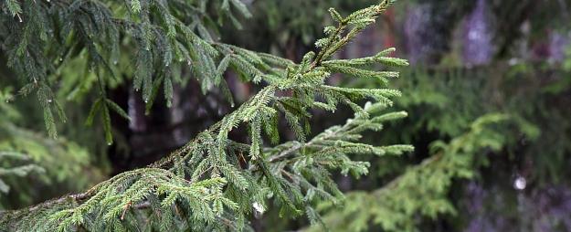 Pirmssvētku laikā valsts mežos jau konstatē eglīšu ciršanu neatļautās vietās