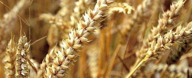 """""""Latraps"""": Paveras labs nākamā gada graudaugu ražas potenciāls"""