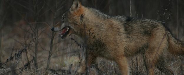 3 vietas Latvijā, kas saistītas ar vilkaču leģendām