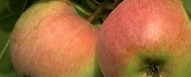Ābolu ražu ietekmējis sausums un aukstās naktis