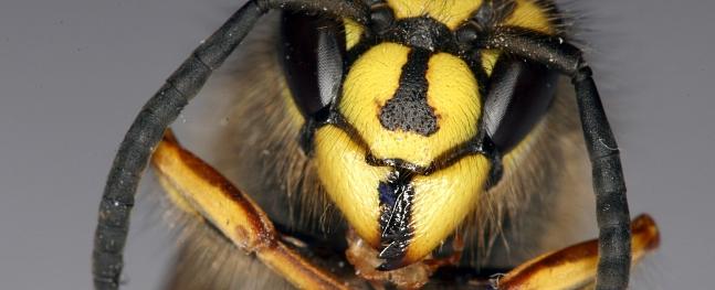Diviem bērniem Vidzemē pēc kukaiņu dzēliena sākas alerģiska reakcija