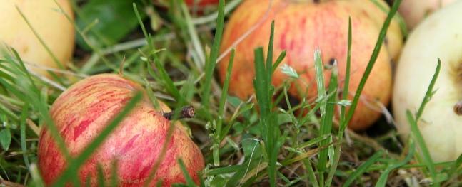 Valmierā nodrošināta bojātu ābolu bezmaksas nodošana