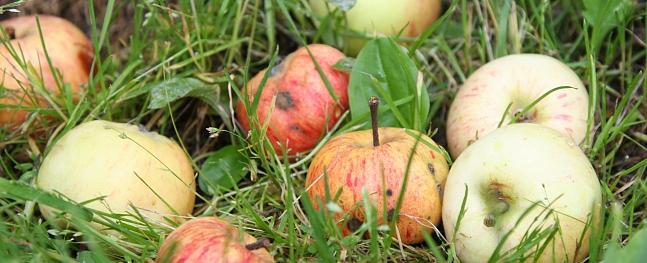 Cēsīs bojātos ābolus bez maksas pieņem katru dienu