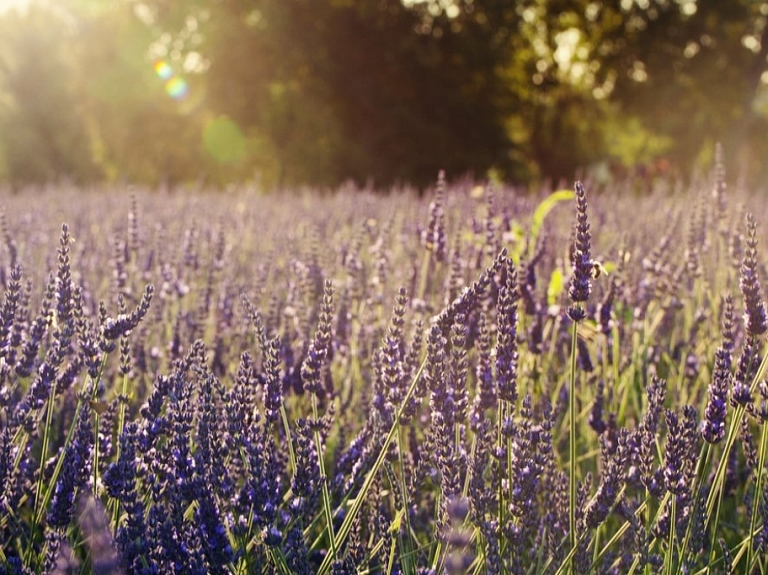 "Lavandu lauki ""Lillas lavender"""