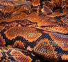 Ilustratīvs foto/ Foto: Pixabay|Kāda reliģioza sieviete Ķīnā izlaidusi savvaļā 900 čūskas, lai uzlabotu savu karmu, bet tas notika pārāk tuvu kādam ciemam, kura iedzīvotāji bija spiesti šos rāpuļus nosist.
