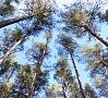 Foto: Pilseta24.lv|Gulbenes novadā, Jaungulbenes pagastā no kāda meža patvaļīgi nocirsti 74 augoši koki.