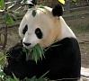 Foto: Pixabay|Par Vīnes zooloģiskā dārza jaunāko papildinājumu kļuvis pandas mazulis, kuru pasaulē laiduši veiksmīgi nebrīvē dzīvojošā māte.